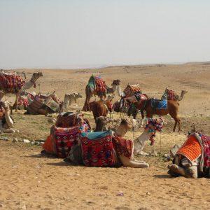 Horseback Riding And Camel Ride,donkeys-in -luxor-Egypt2